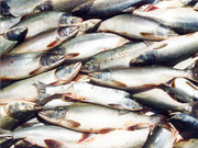 Свежемороженая рыба и прочие морепродукты