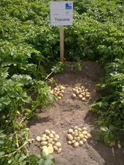 семенной картофель для Профессионалов Сумской области
