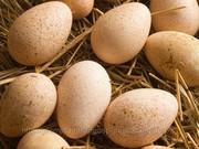 Яйцо куриное инкубационное