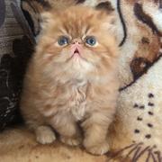 Рыжики персидские экстремальные котята