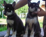 Продаются  щенков Аляскинского маламута
