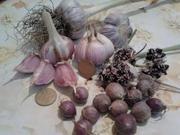 Продам чеснок и семена (воздушка) СОФИЕВСКИЙ сорт