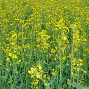 Куплю сою подсолнечник кукурузу пшеницу дорого