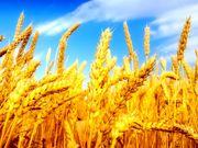 Продам пшеницу фураж 6 кл. 85 т.
