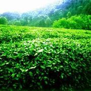 Зеленый чай,  черный чай,  чай кимун,  чай улун и др